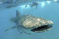 Whale Sharks in Cabo San Lucas