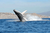 Private Cabo Whale Watching Express