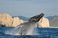 Cabo Whale Watching Express Tour